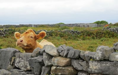 Calf looking over wall pic